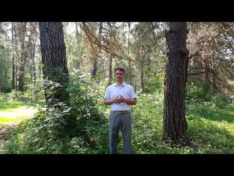 В  г.Алексин Тульской области участок с более трехстами соснами отдали под застройку