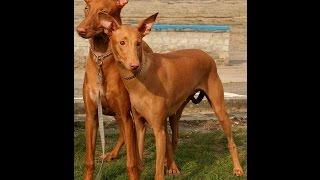 Фараонова Собака/Pharaoh Hound (порода собак HD slide show)!
