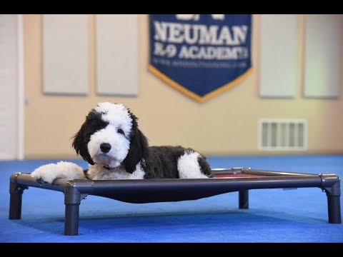 11 Things you Have to Know before Owning a Sheepadoodle - Animalso