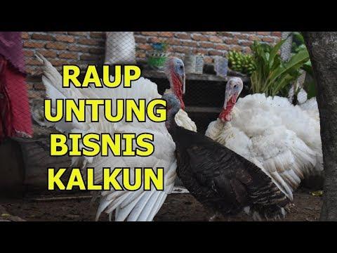 Raup Untung Dari Bisnis Ayam Kalkun