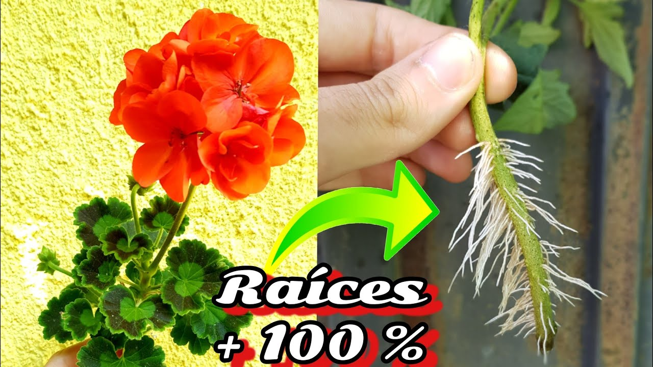 SOLO el 1% conoce este EnRaiZanTe NATURAL para esquejar plantas ! Hormonas enraizantes sin lentejas