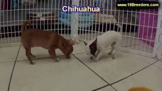 Chihuahua, Puppies, For, Sale, In, New York, City, Ny, Albany, State, Up