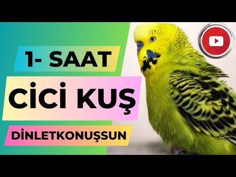Konuşan Muhabbet Kuşu Fıstık Cici Kuş 1 saat - Gerçek Muhabbet Kuşu ses kaydından derlenmiştir indir