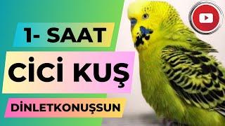 Muhabbet Kuşu Fıstık Cici Kuş 1 saat #dinletkonuşsun