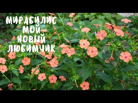 МИРАБИЛИС - МОЙ НОВЫЙ ЛЮБИМЧИК. Мои цветы. Мой опыт.