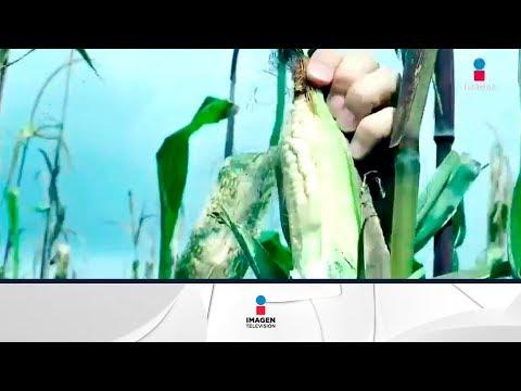 Rifado mexicano quiere salvar al maíz | Noticias con Francisco Zea