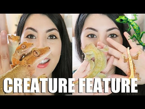 Crested Geckos   About My Pet Crested Geckos   Creature Feature