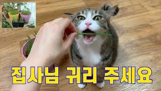 고양이가 좋아하는 귀리 키우는 방법 (복길이 선물 2탄…