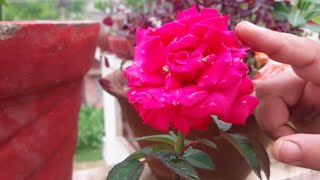 How to Grow and Care Rose Plant || Fun Gardening || 30 Aug, 2017