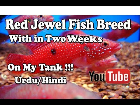 Red Jewel Fish Breed | With in 2 Weeks | On My Fish Tank Urdu/Hindi