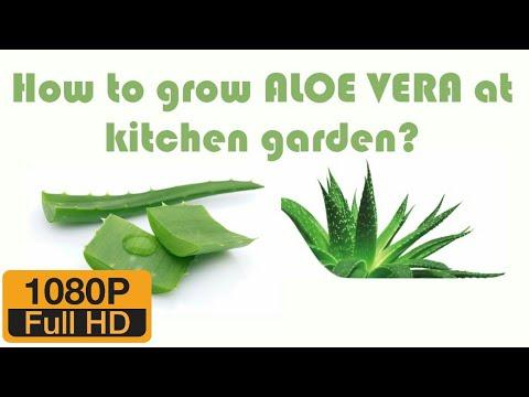 How to grow ALOE VERA at kitchen garden? - Lost Bridge Farms