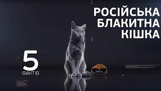 Русская голубая кошка – все о породе кошек