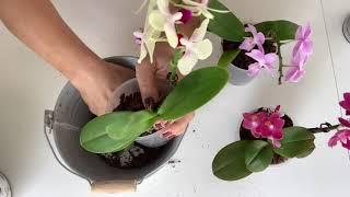Orkide Bakım Bölüm-7
