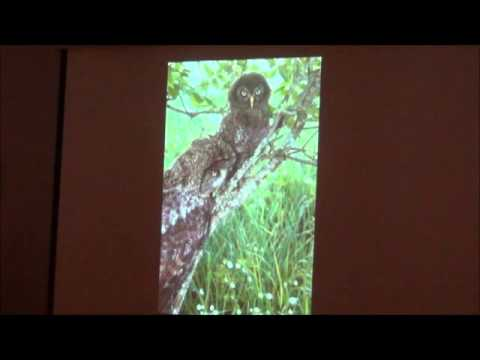 Nesting Great Grey Owls in Chippewa County Michigan