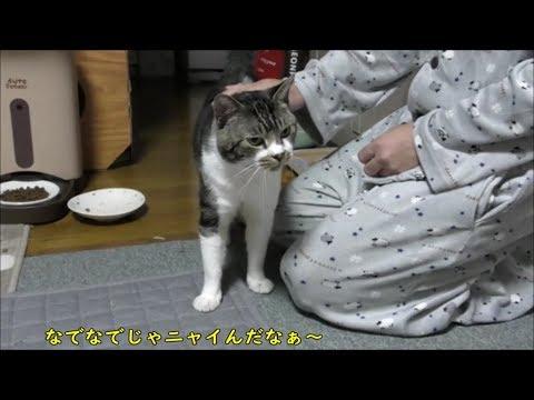 パパが居なくなったことに突然気づき、焦って超低音で鳴く猫リキちゃん☆おねだり上手の食いしん坊猫【リキちゃんねる 猫動画】Cat video キジトラ猫との暮らし