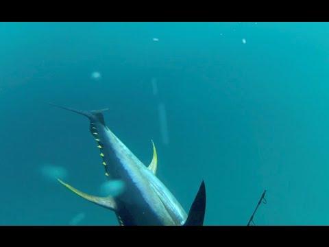 Voodoo Charters - Tuna Fishing