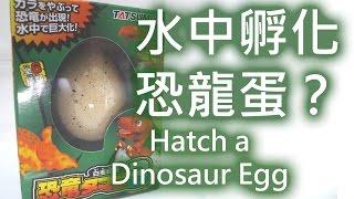 【開箱試玩】日本玩具-水中孵化恐龍蛋?【TATSUMIYA】