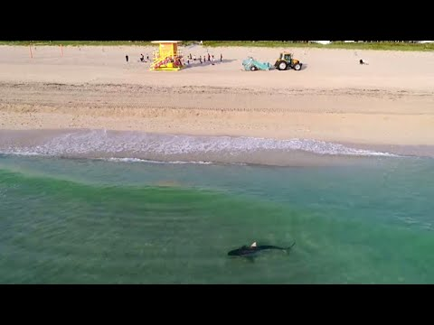 Video: Tiger Shark Spotted Roaming South Beach Shore