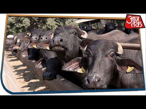 35 Buffaloes Die In A Cowshed In Prayagraj, Reason Of Death Remains Unknown