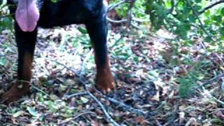 Rottweilers Attack Snake