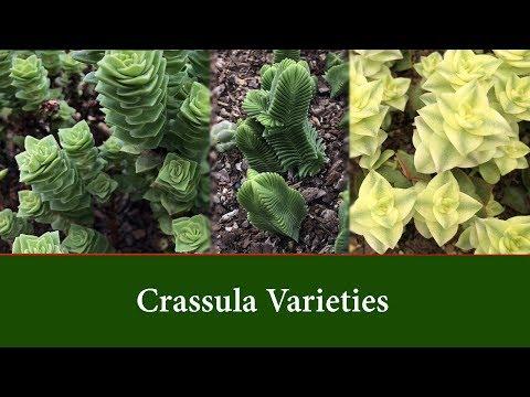 Crassula Varieties, a diverse group of succulent plants