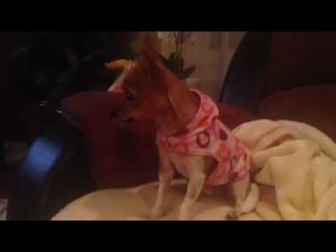 Chihuahua Singing To Son's Of Anarchy Theme