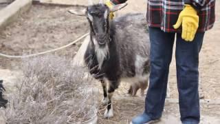 Большое вымя.  Новая коза.