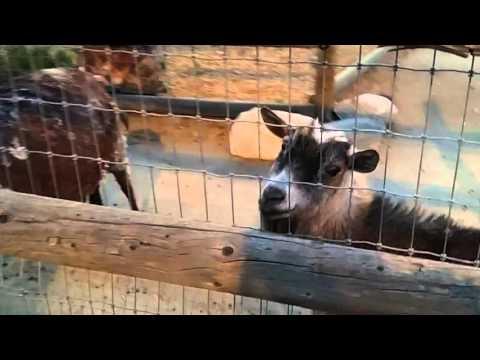 Petting Goats at Murray Family Farms (Bakersfield, California)