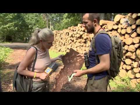 Ścięte drzewa z Puszczy Białowieskiej wyjeżdżają  Kornik zostaje...?