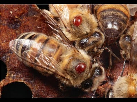 Как обрабатывать пчел щавелевой кислотой