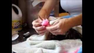 Chicken Bumblefoot Bandaging HOW-TO