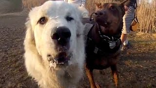 Zeus! & Angus At Cinema Dog Park, Ancaster, Ontario Spring 2015