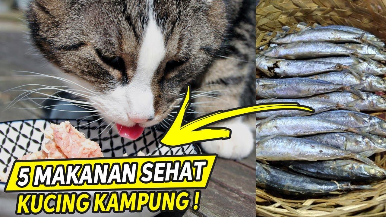 Terbukti Ampuh 5 Makanan Kucing Kampung Agar Cepat Gemuk Youtube