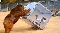 Un ours casse une vitre puis...