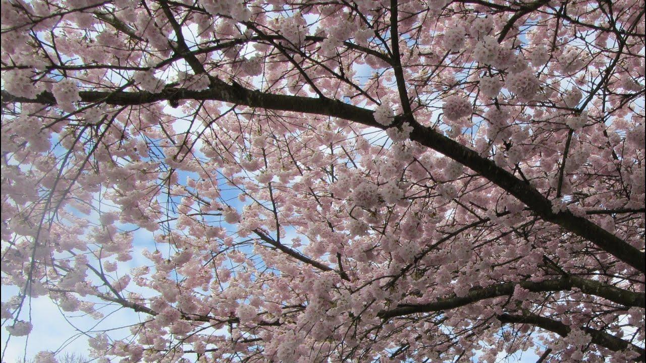 třešňové květy stříkat sex velké dic