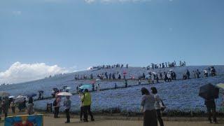 茨城県国営ひたち海浜公園ネモフィラを見た!みはらしの丘♪混雑・絶景・アトラクション・2019GW令和元年