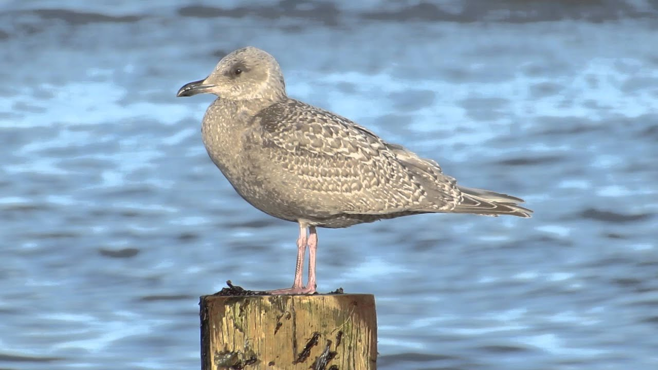 Anything Larus: First Day of 2015: Banded HERG & More Thayer's |Thayers Gull