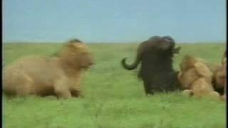Africa Selvagem - Leoa atacando búfalo.avi