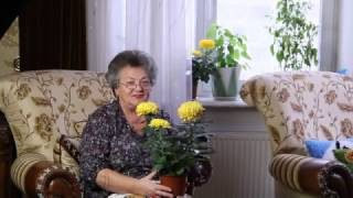 видео как ухаживать за хризантемой в горшке
