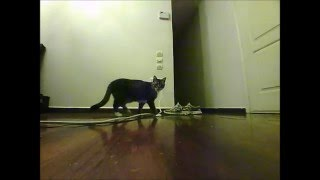 Parrot Jumping Night Buzz minidrone - Cat reaction