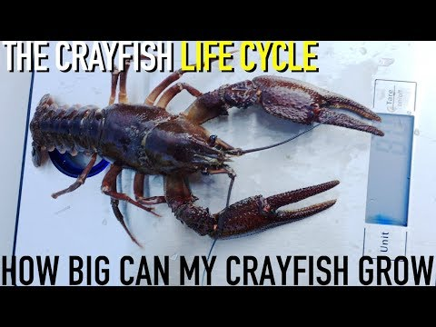 How Big Can Crayfish/Crawfish Grow?