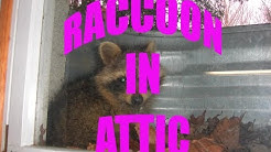 House Damage: Raccoon