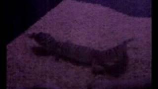 mi gecko leopardo moviendo la cola como un gato