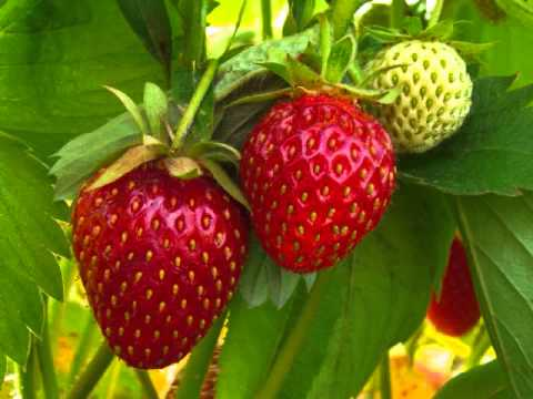 Can I Raise Big Fat Red Juicy California Strawberries In Minnesota? We Will See!