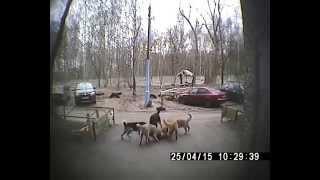 Стая собак разрывает кошку у дома