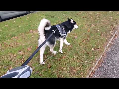 Some events in the day of an Alaskan Malamute #5