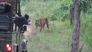 Tiger Chase Bison (Indian Gaur) at Bandipur National Park