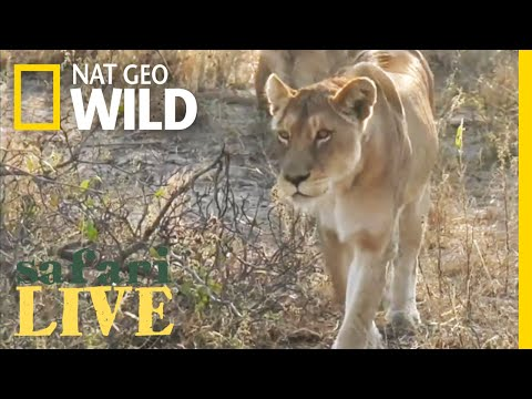 Safari Live - Day 4 | Nat Geo WILD