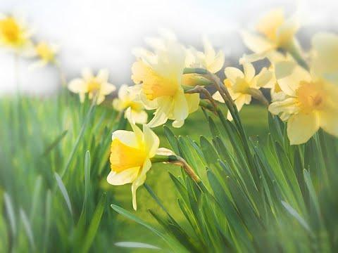 Нарциссы весной можно пересадить, посмотрите!