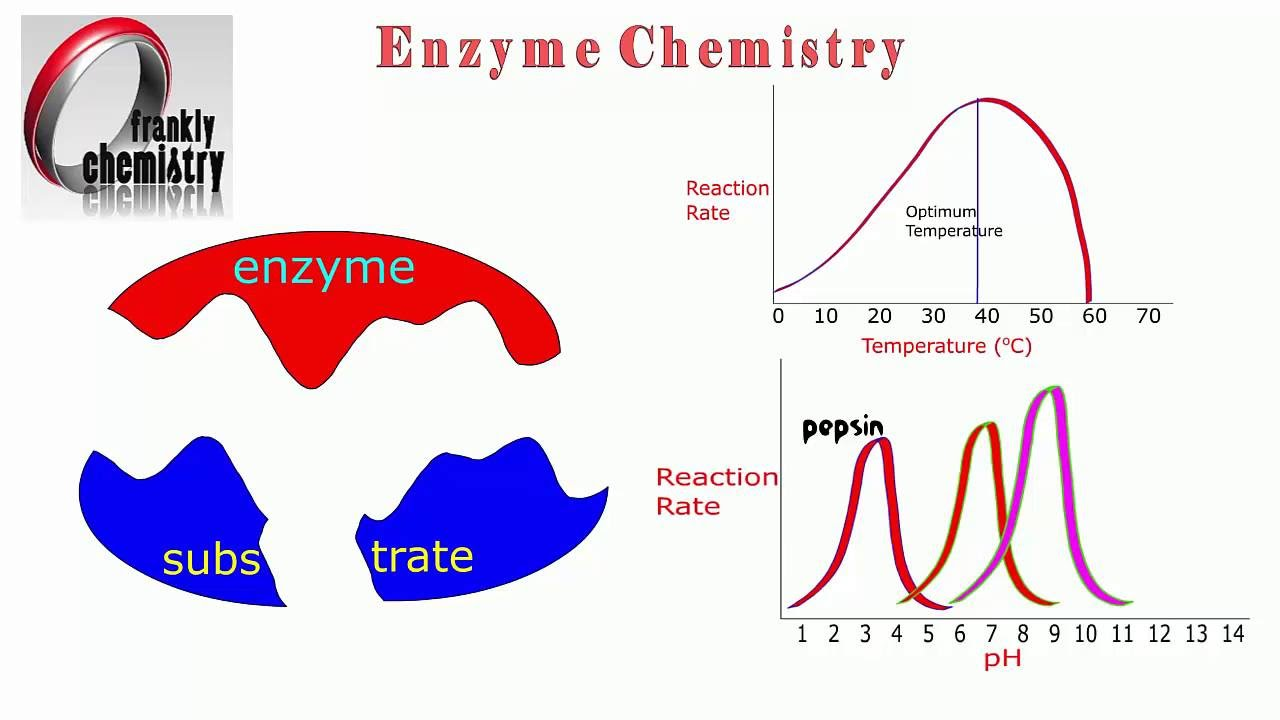 Amino Acids 11 Enzyme lock and key mechanism and